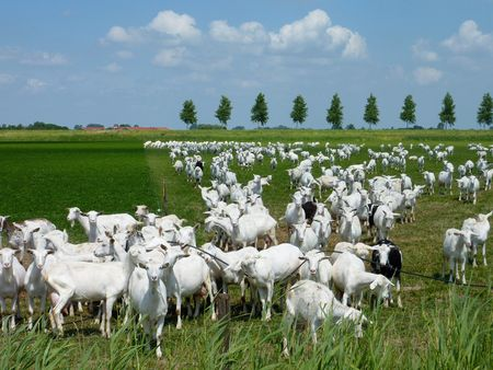flakkee: White goats in a meadow of a goat farm Stock Photo