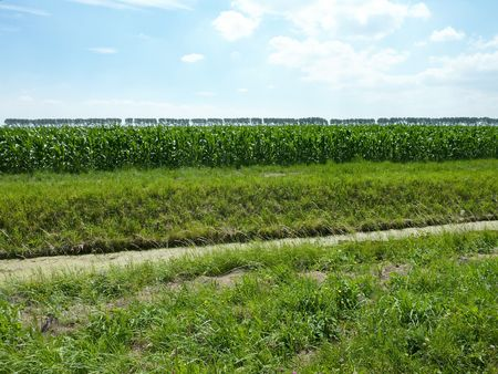 A field with indian corn plants