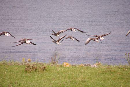 overflakkee: Flying greyleg geese (anser anser)