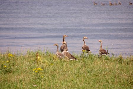 Gray leg geese at the waterfront Stock Photo