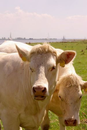 flakkee: Two curious young cows Stock Photo