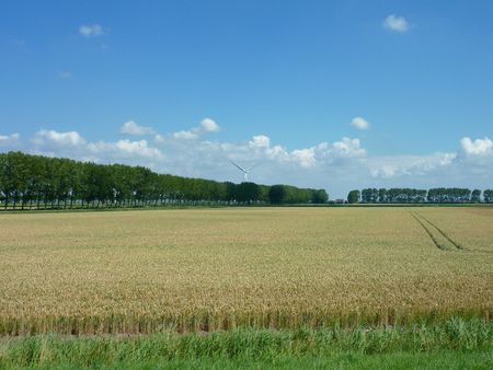 A wheat field with trees at the horizon
