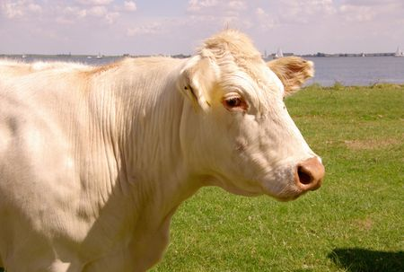 flakkee: A potrait of a cow Stock Photo