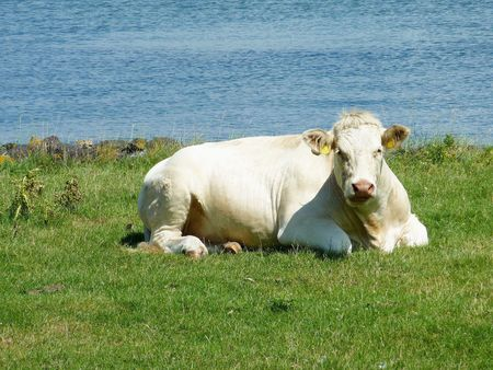 flakkee: A ruminating cow in a meadow