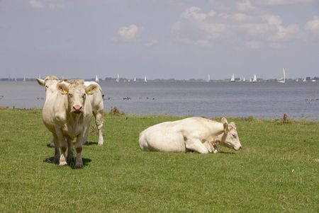 flakkee: Cows at the waterfront