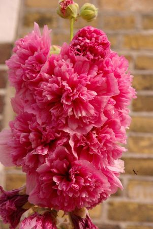 A pink double hollyhock Stock Photo - 7447949