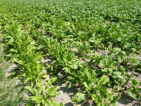 endivia: Un campo con plantas de escarola  Foto de archivo