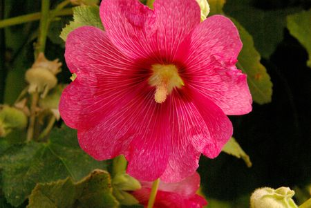 A pink Common hollyhock Stock Photo - 7447948
