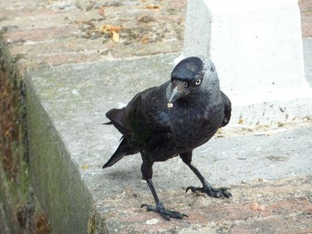 A  jackdaw in the city Stock Photo - 7469995