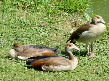 Egyptian geese in a park photo