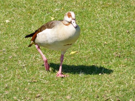 Egyptian goose in a park photo