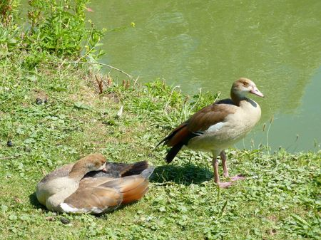 Egyptian geese at the waterfront photo