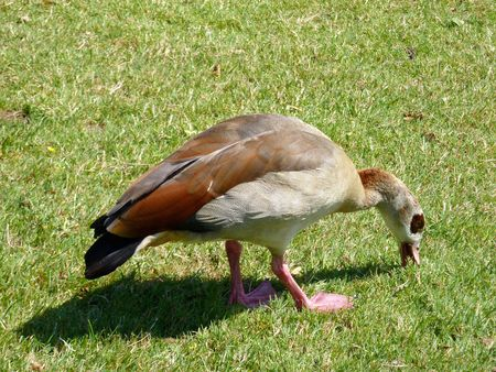 A grazing Egyptian goose photo