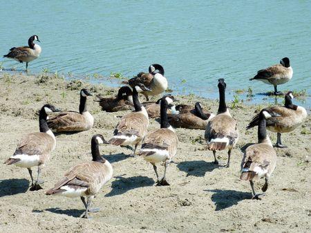 branta: Canada geese (branta Canadensis) in a park