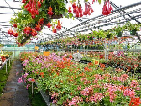 Crane bill and fuchsia plants in a greenhouse