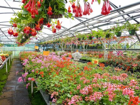 Crane bill and fuchsia plants in a greenhouse