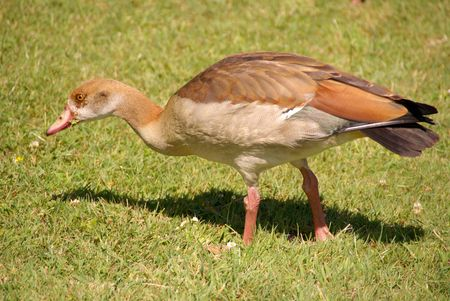 Young Egyptian goose in a park photo