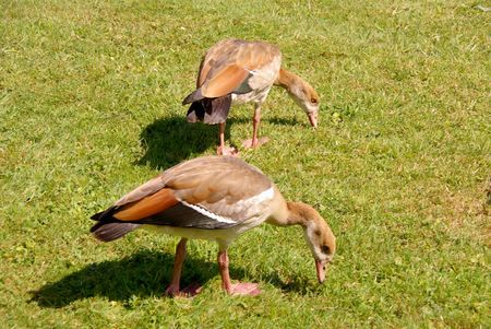 Young Egyptian geese in a park photo