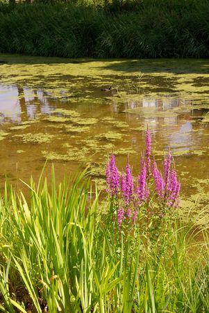 waterside: Purple loosestrifes (lythrum salicaria) at the waterside of a pool