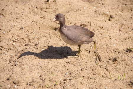 expended: A young coot at the beach
