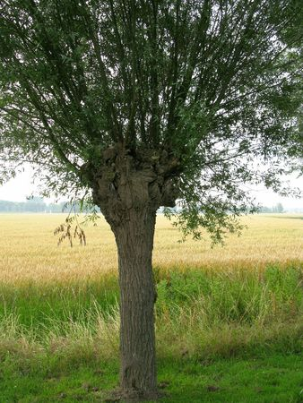 A willow tree in front of a wheat field Stock Photo
