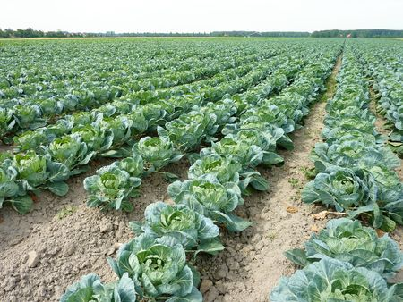 A field with rows of cabbage (brassica olerocea) in perspective Stock Photo