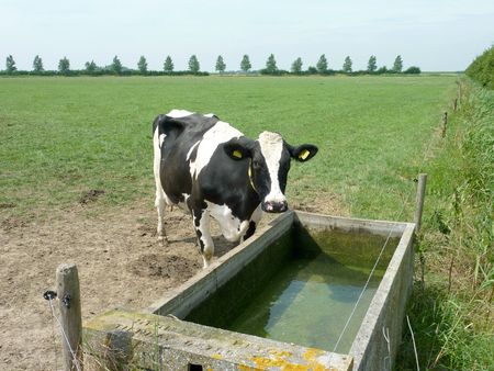 A cow at a watering through