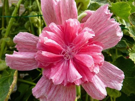 A pink double  hollyhock Stock Photo - 7489135