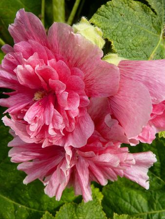A pink double  hollyhock Stock Photo - 7489134
