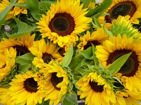 Sunflowers in summer photo