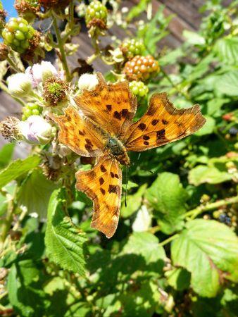 Aurelia or comma butterfly (Polygonia c-album) Stock Photo - 7489142