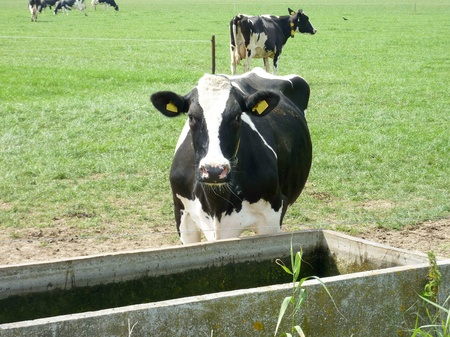 A portrait of a Frisian Holsteiner cow in a meadow at the watering trough