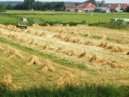 Straw drying at a crop field Stock Photo - 8544155