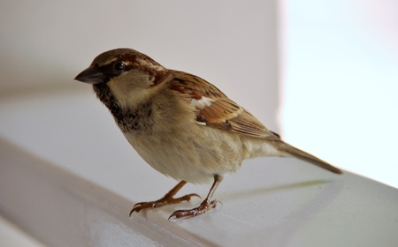 passer    by: A house sparrow (passer dominicus) Stock Photo