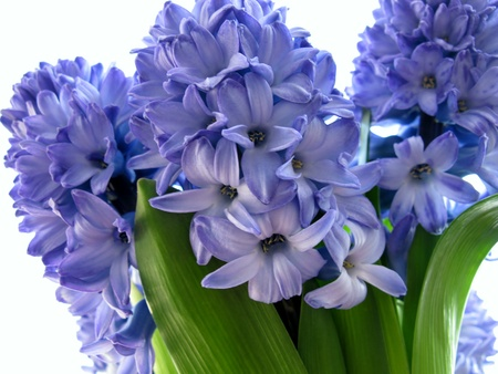 Blue flowering hyacinth bulbs in spring