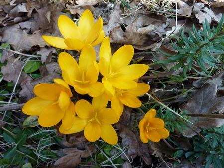 crocuses: Yellow crocuses in spring Stock Photo