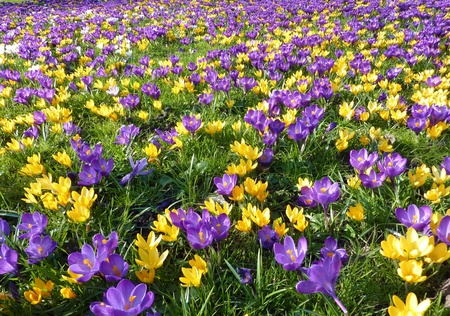 A field with violet and yellow crocuses in spring