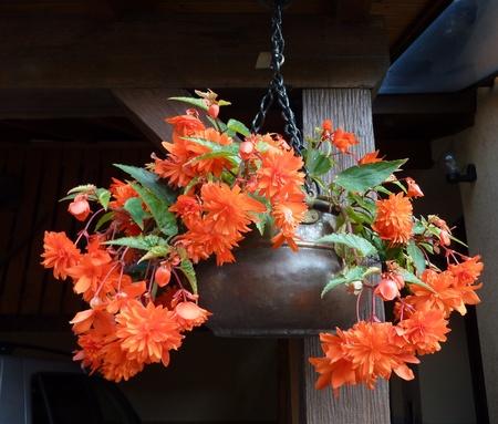 Una floraci�n de plantas colgantes begonia (Begonia pendula) Foto de archivo - 10948854