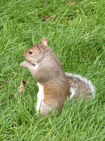 Eastern gray squirrel or grey squirrel (scirius carolinensis) Stock Photo - 10841857