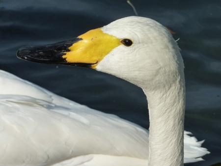 percept: A portrait of a Bewicks swan Stock Photo