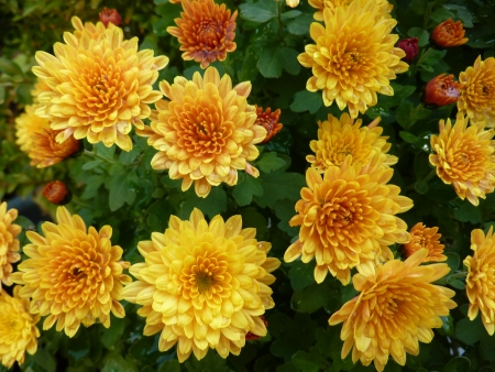 A floiwering chrysanthemum plant in autumn