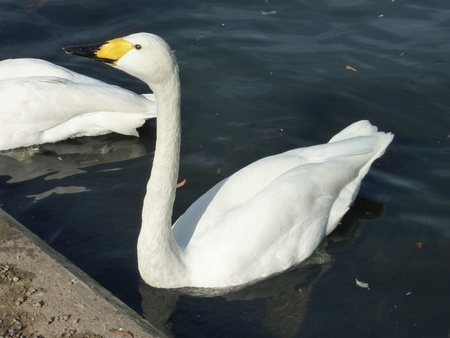 A portrait of a Bewick's swan or Tundra swan (cygnus bewickii) Stock Photo - 11911933