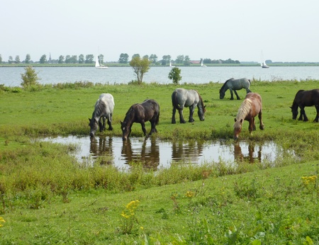 Young work horses standing in the water of a pool  in the Netherlands Stock Photo - 11912319