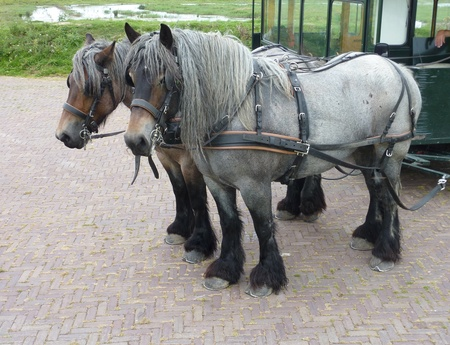 A carriage and pair of Belgium work horses  photo