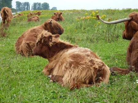Resting highland cows in the field photo