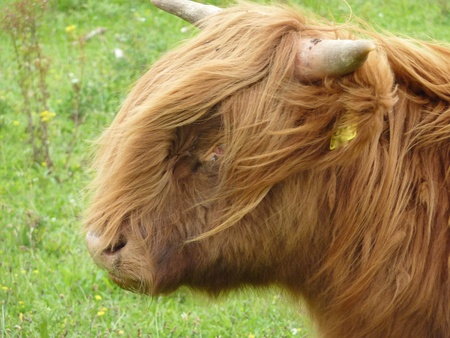 A portrait of a Scottish highland cow photo