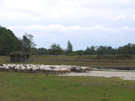 A crowd of sheep at the moor fields of a national park in the northern part of the Netherlands Stock Photo - 11408549