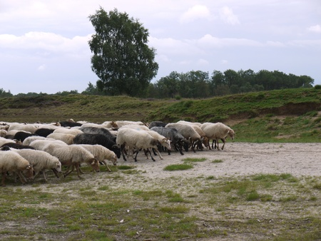 A crowd of sheep at the moor fields of a national park in the northern part of the Netherlands Stock Photo - 11408550