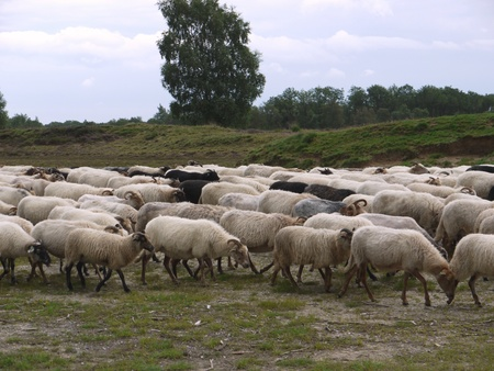 A crowd of sheep at the moor fields of a national park in the northern part of the Netherlands Stock Photo - 11408551