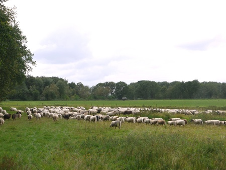 A crowd of sheep in the field photo
